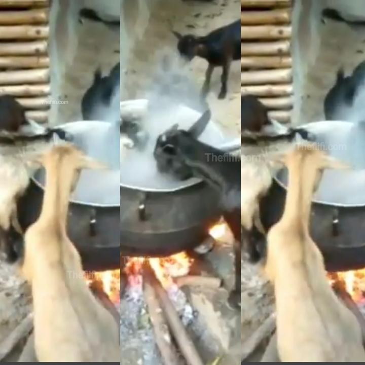 Video Of Goats Eating Hot Banku On Fire Causes Alarm